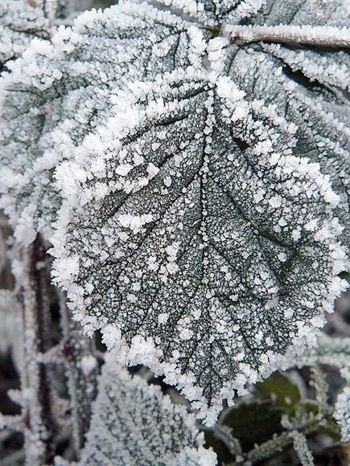 Hoar Frost on Leaf
